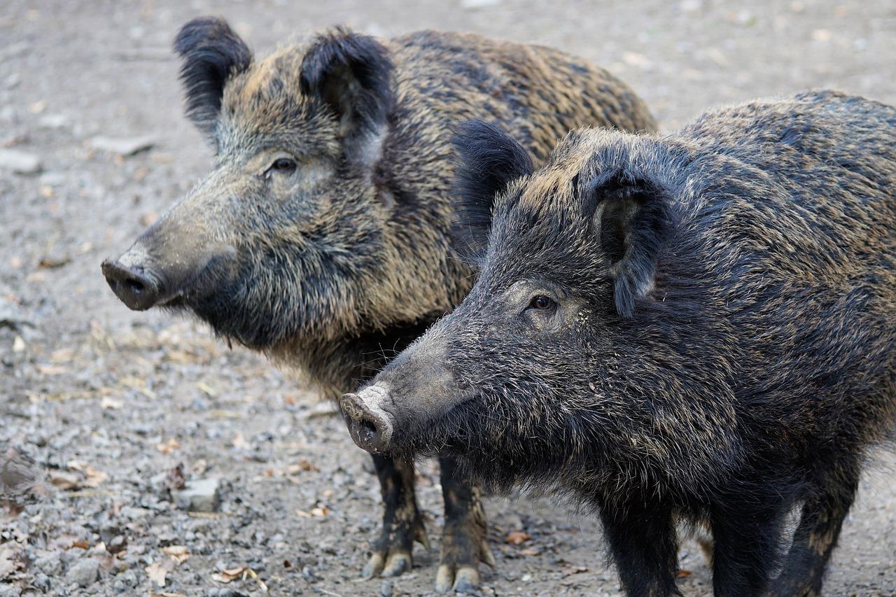 Fauna selvatica, razzie nei campi e incidenti sulle strade