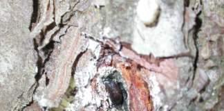 scolitidi dei pini
