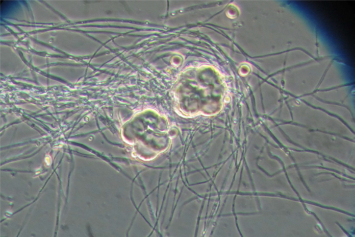 microrganismi