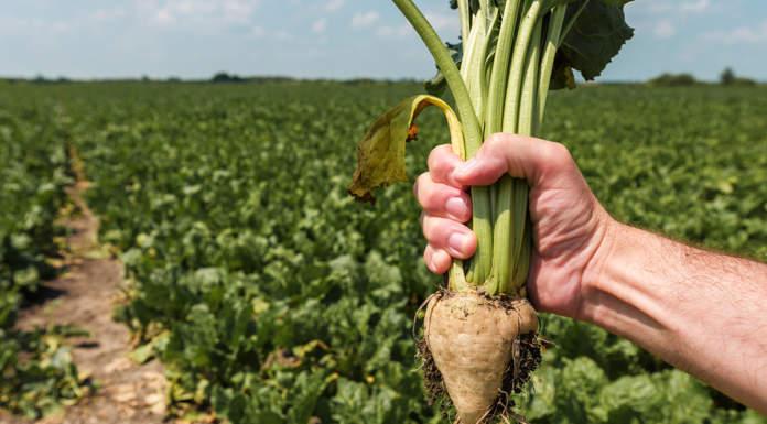 corso coltivazione biologica barbabietola da zucchero