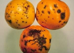 macchia nera agrumi