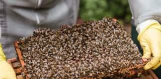 apicoltura