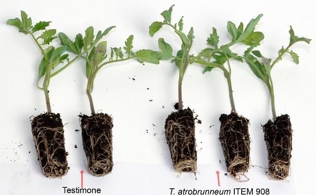 Trichoderma spp.