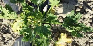 New Delhi zucchino