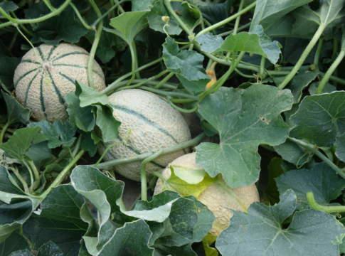 melone pieno campo