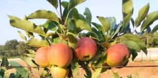 puglia melo