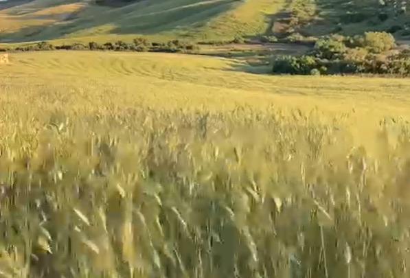 grano duro
