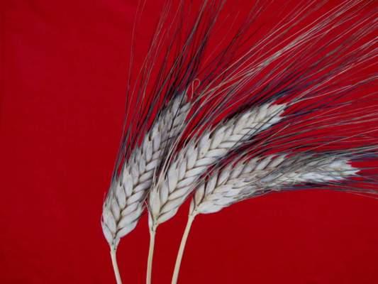 Spighe di grano duro Perciasacchi