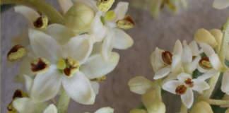 dimensione frutto ulivo