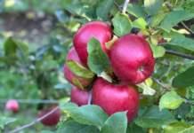 crimson snow apples