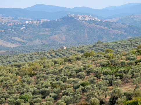 varietà olivicole basilicata